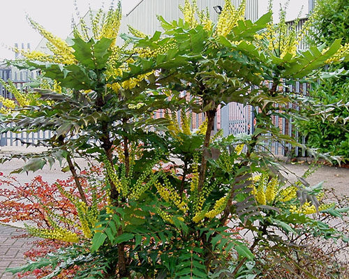 Brejoin Paysagiste Mahonia × Media